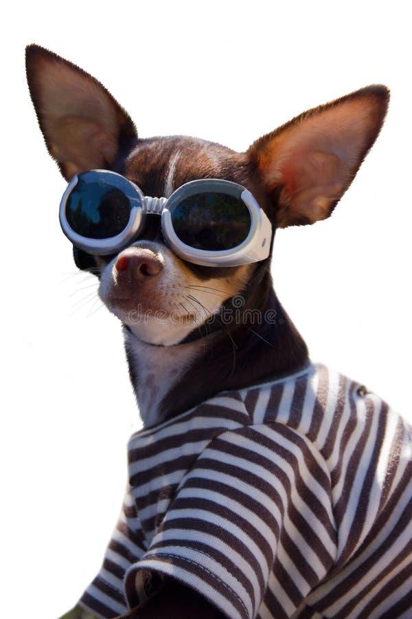 Lustige Chihuahua mit googeln stockfotografie