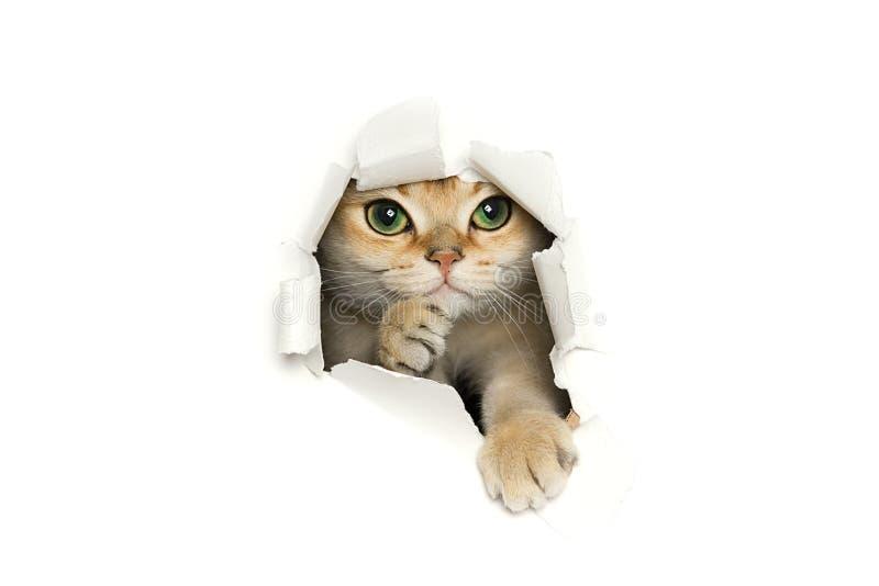 Lustige Katze, die aus dem heftigen Papier heraus lokalisiert auf weißem Hintergrund späht stockfoto