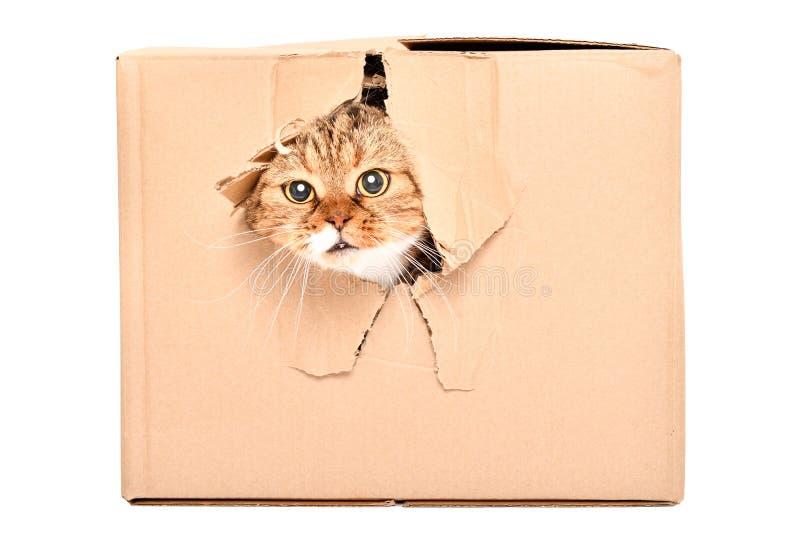 Lustige Katze schottische Falte schaut aus einem heftigen Loch in einem Kasten heraus stockfotografie