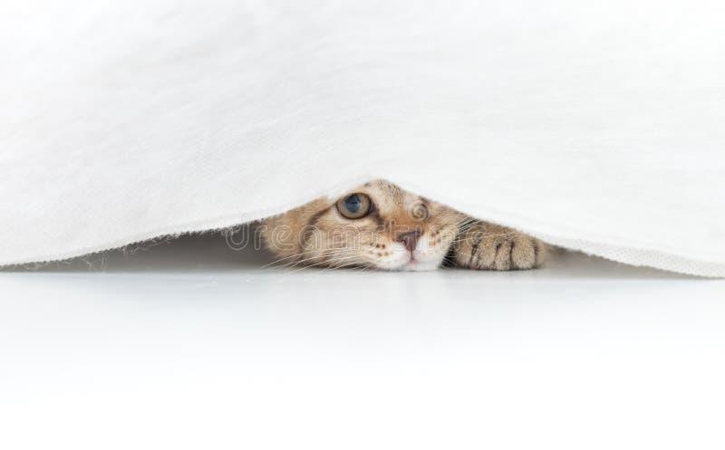 Lustige Katze versteckt unter dem kleinen weißen Vorhang lokalisiert stockfotos