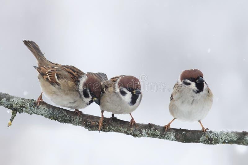 Lustige kleine Vögel, die auf einem Niederlassungskältewinter sitzen stockbilder