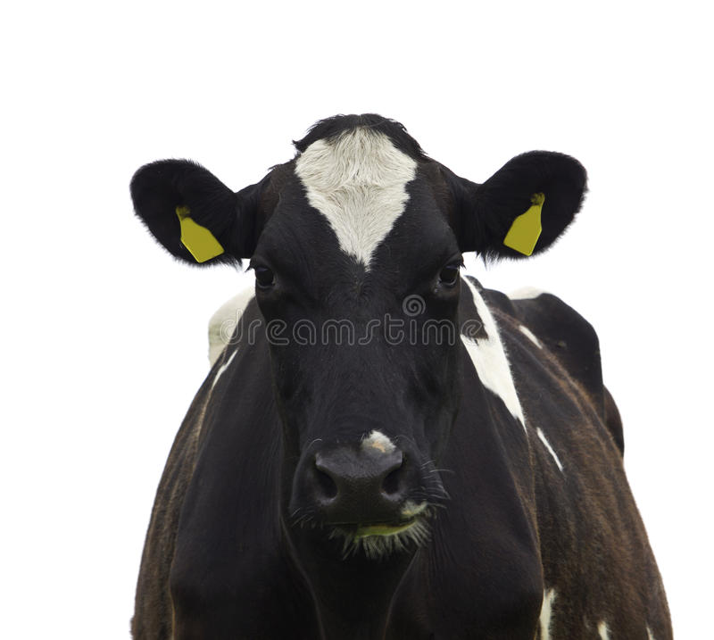 Lustige Kuh lokalisiert lizenzfreies stockfoto