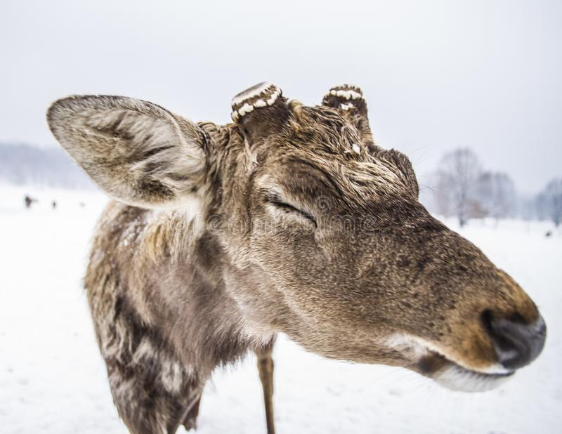 Lustige Mündung eines Tierrotwilds lizenzfreie stockfotografie