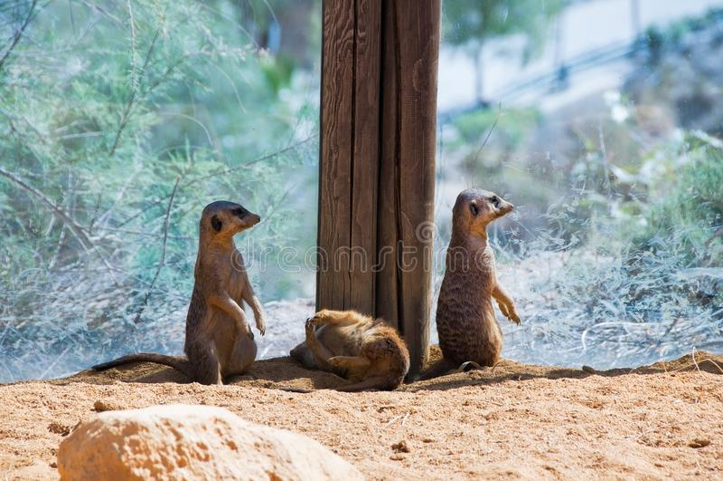 Lustige meercats lizenzfreies stockfoto
