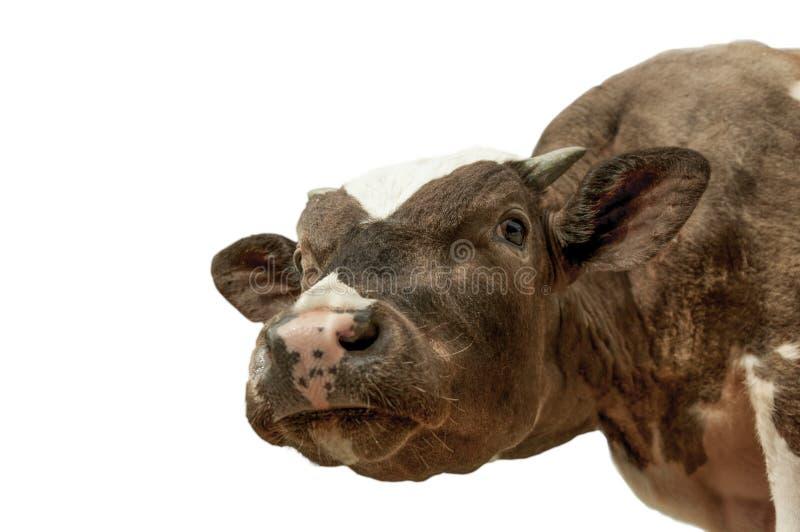 Lustige nette Kuh lokalisiert auf Weiß Sprechender Schwarzweiss-Kuhabschluß oben lizenzfreies stockfoto