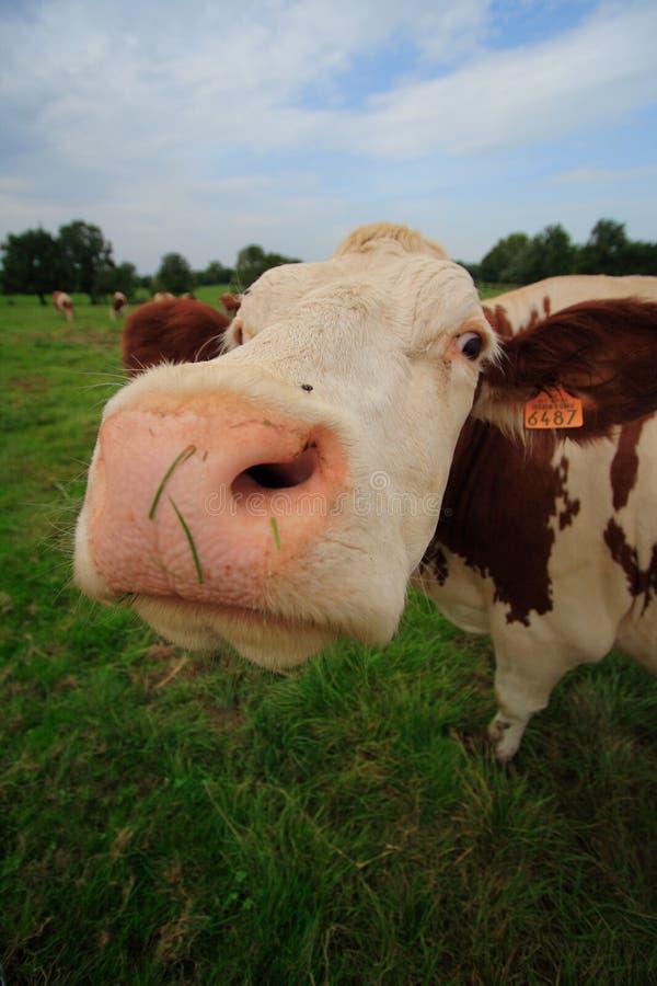 Lustige neugierige Kuh stockbild