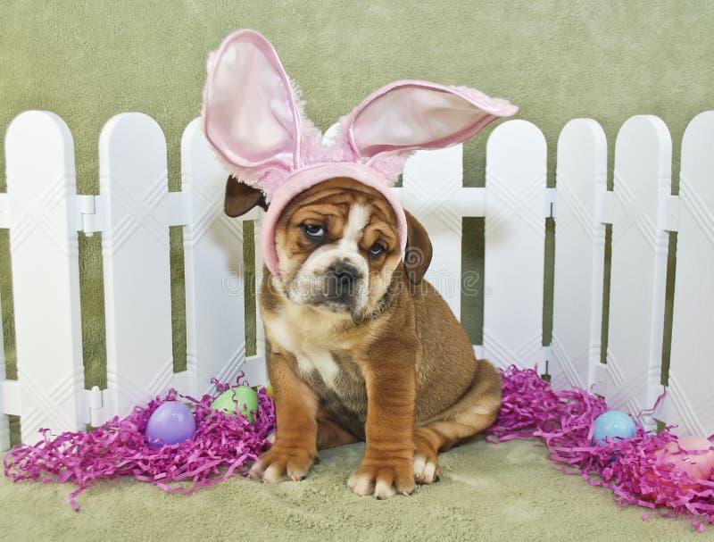 Lustige Ostern-Bulldogge lizenzfreie stockbilder
