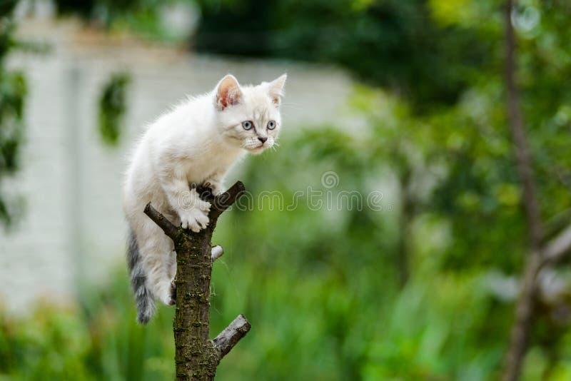 Lustige pelzartige graue Kätzchenkatze auf dem Baum bereit zu springen lizenzfreies stockbild