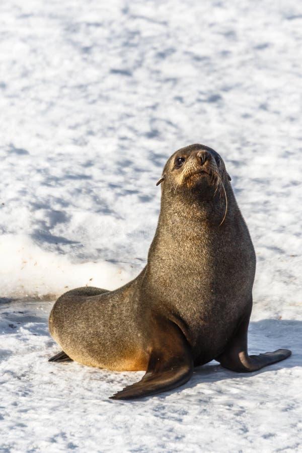 Lustige Pelzdichtung, die auf dem Schneestrand in der Halbmond-Insel, sitzt lizenzfreies stockbild