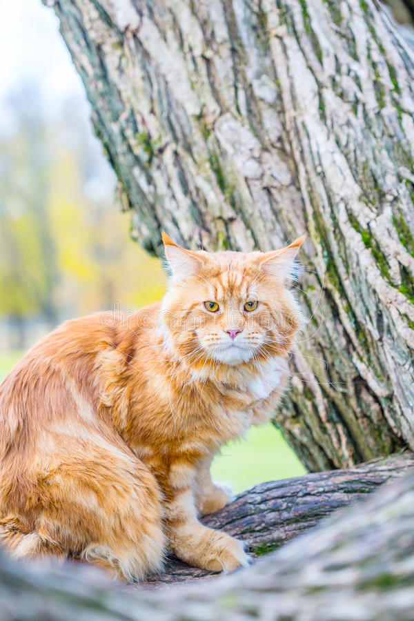 Lustige rote Maine Coon Cat, die auf dem Baum in Autumn Forest sitzt, mögen Cheshire Cat lizenzfreie stockfotos