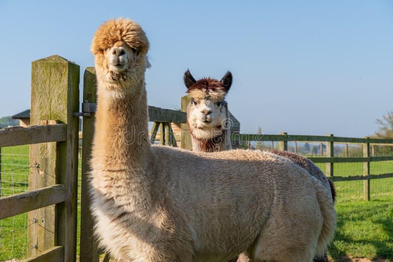 Lustige schauende Alpakas am Bauernhof lizenzfreie stockfotos