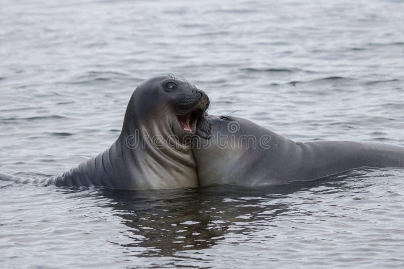 Lustige Seelefanten lizenzfreie stockbilder