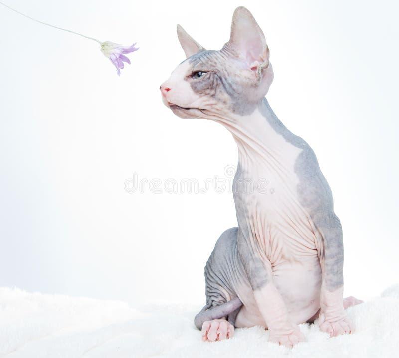 Lustige Sphinxkatze mit Blume stockbilder