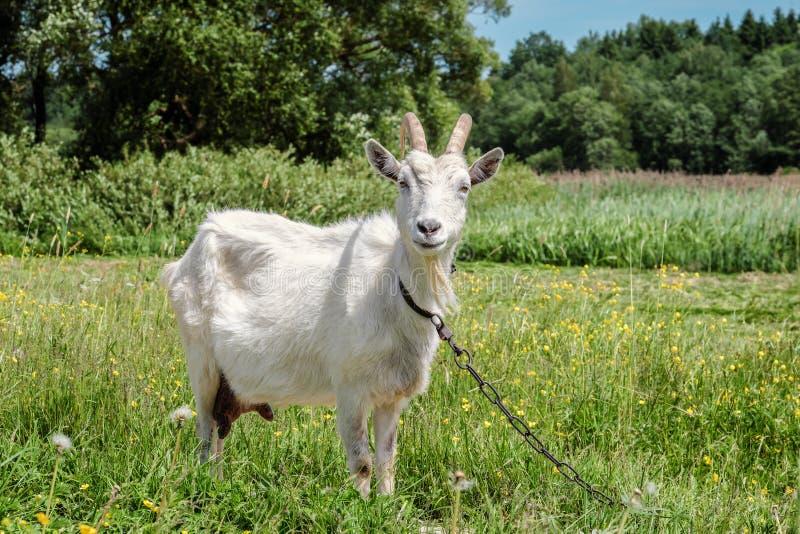 Lustige Ziege, die Linse betrachtet lizenzfreies stockfoto