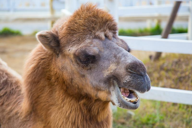 Lustiger Alpakaabschluß herauf Kopf stockbilder