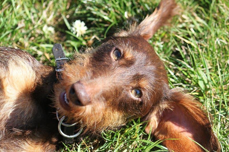 Lustiger brauner Draht behaartes dachshound liegt im Garten und lächelt in die Kamera stockfotos