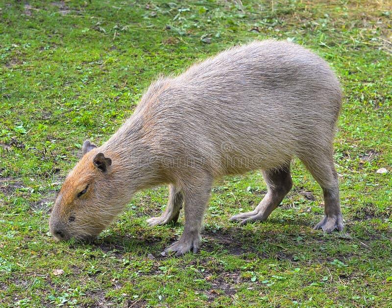 Lustiger Capybara isst Gras in der Einschließung am Zoo Der Capybara ist das größte lebende Nagetier in der Welt lizenzfreies stockfoto