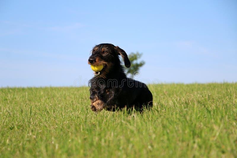 Lustiger Draht behaartes dachshound im Garten lizenzfreie stockfotografie