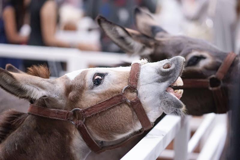 Lustiger Esel Esel öffnet seinen Mund, der bereit ist eingezogen zu werden Fütterungszeit lizenzfreies stockbild