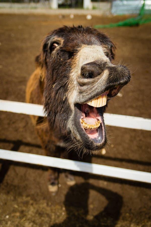 Lustiger Esel, der seinen Mund erbittet Karotten zeigt stockfotos