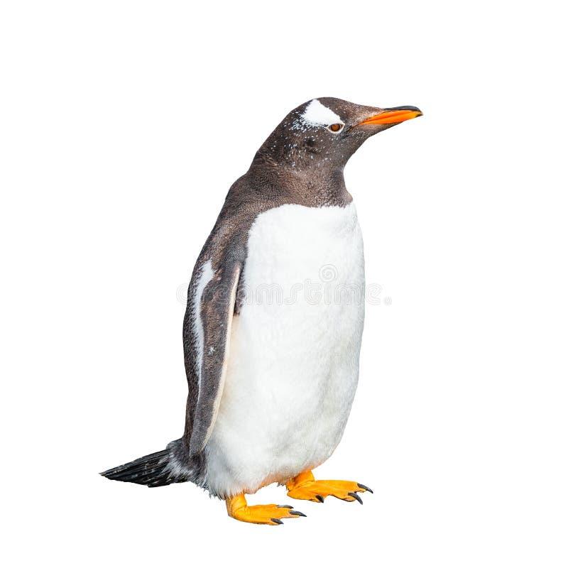 Lustiger Gentoo-Pinguin lokalisiert am weißen Hintergrund, Spürhund Channe lizenzfreie stockfotografie