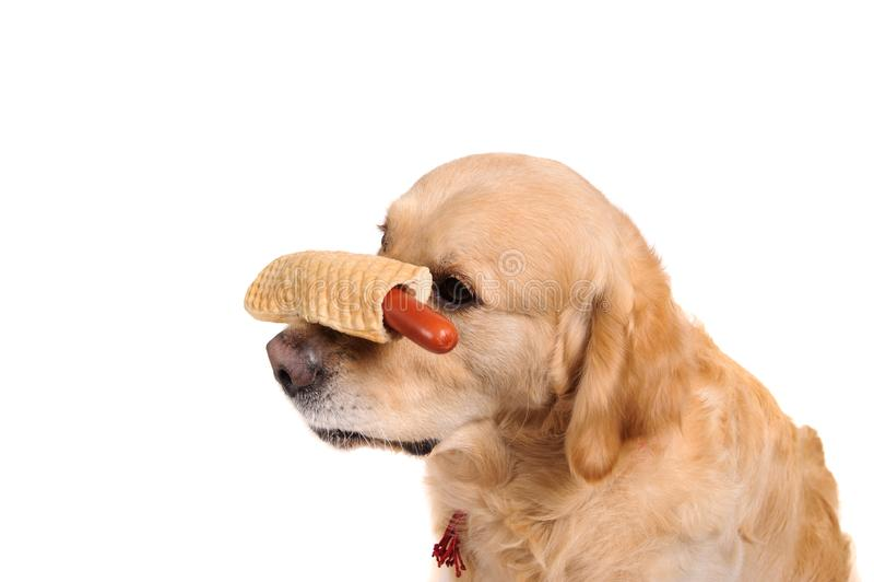 Lustiger goldener labrador retriever-Hund, der auf dem Würstchen schaut lizenzfreies stockfoto