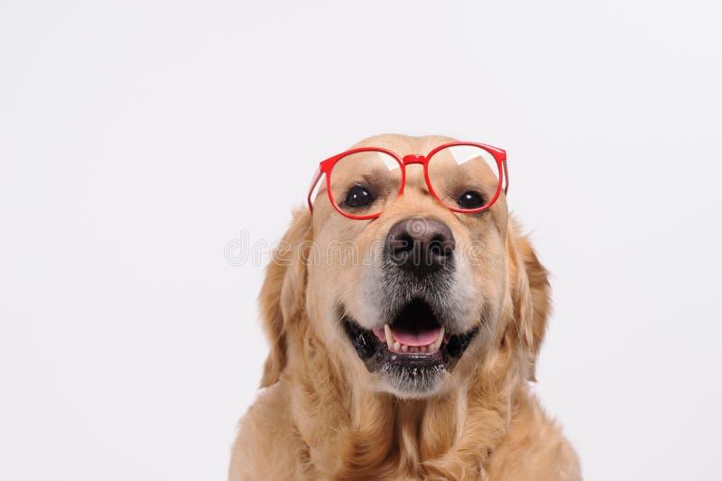Lustiger goldener labrador retriever-Hund, der in den roten Gläsern schaut lizenzfreie stockbilder