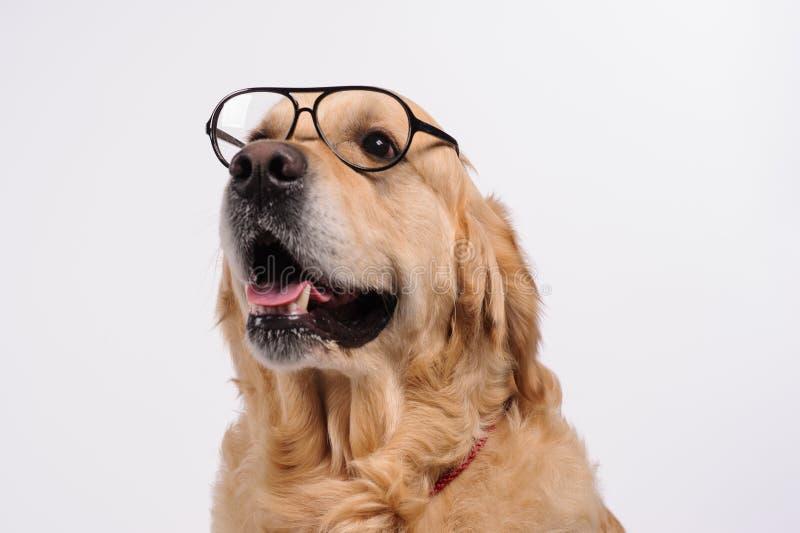 Lustiger goldener labrador retriever-Hund, der in den schwarzen Gläsern schaut stockfotografie