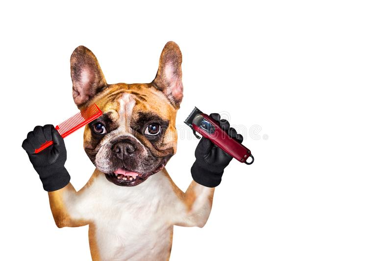 Lustiger Groomergriffscherer und -kamm Friseur der franz?sischen Bulldogge des Hundeingwers Mann getrennt auf wei?em Hintergrund lizenzfreies stockbild
