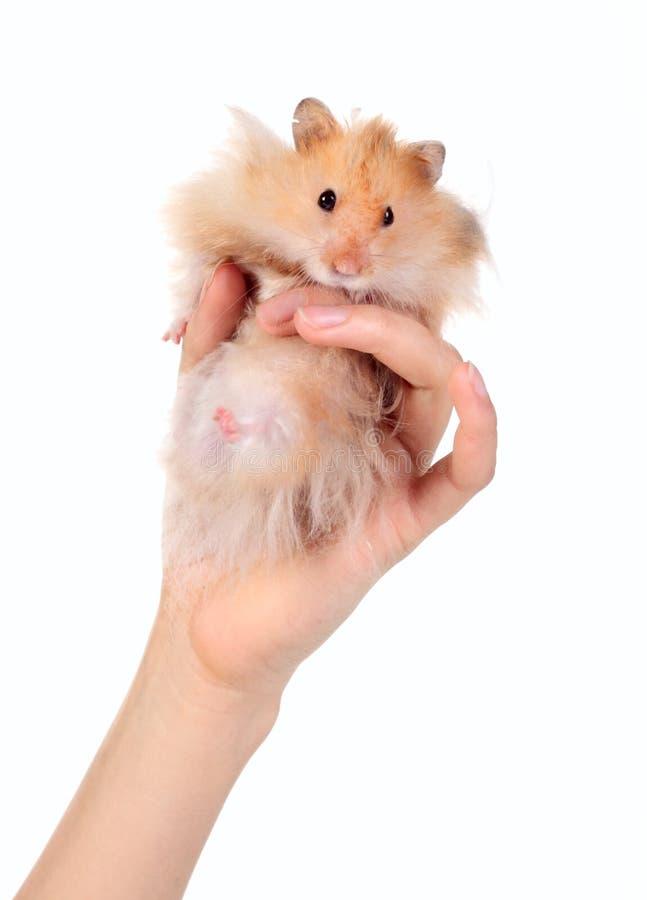 Lustiger Hamster in der Hand lizenzfreie stockfotografie