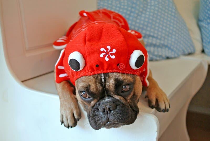 Lustiger Hund der französischen Bulldogge oben gekleidet mit rotem Karpfenfische Hoodiekostüm stockfotografie