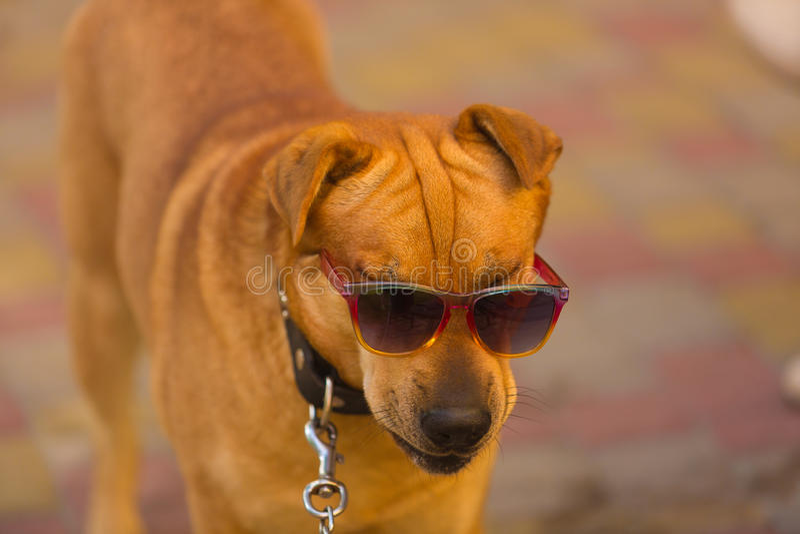 Lustiger Hund in der roten Sonnenbrille am Sommertag stockbild