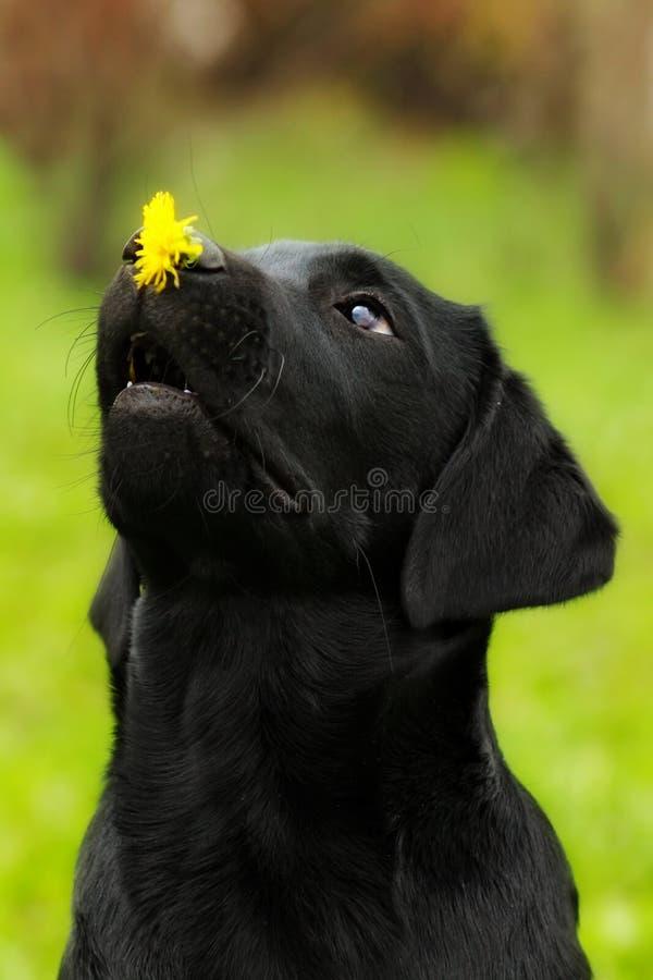 Lustiger Hundeschwarzes Labrador-Welpe hält auf dem Nasenlöwenzahn flowe lizenzfreie stockfotografie