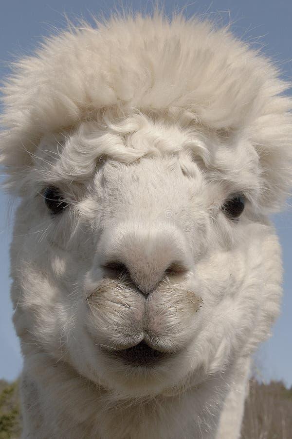 Lustiger Kopf des Alpakas lizenzfreie stockfotografie