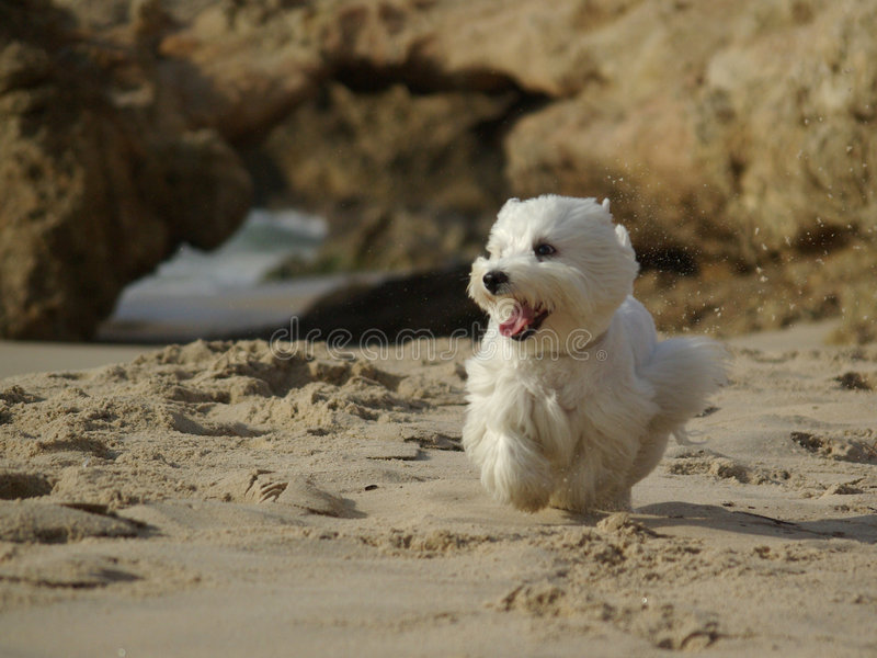 Lustiger laufender Hund am Strand stockfoto