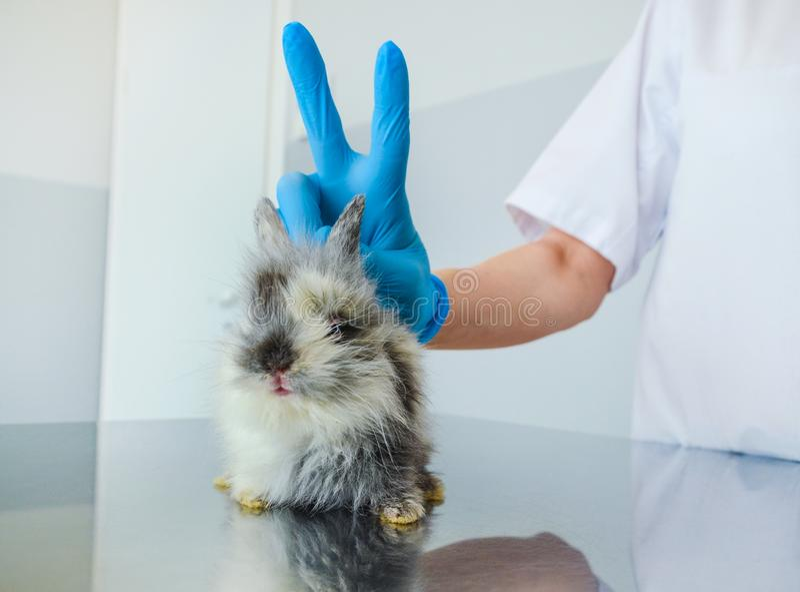 Lustiger Moment nach der Behandlung eines kranken Babykaninchens an einer Veterinärklinik stockfotos