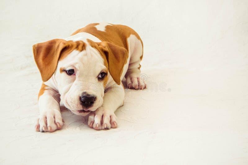 Lustiger netter Welpe American Staffordshire Terrier auf weißem Hintergrund, Nahaufnahme lizenzfreie stockfotografie