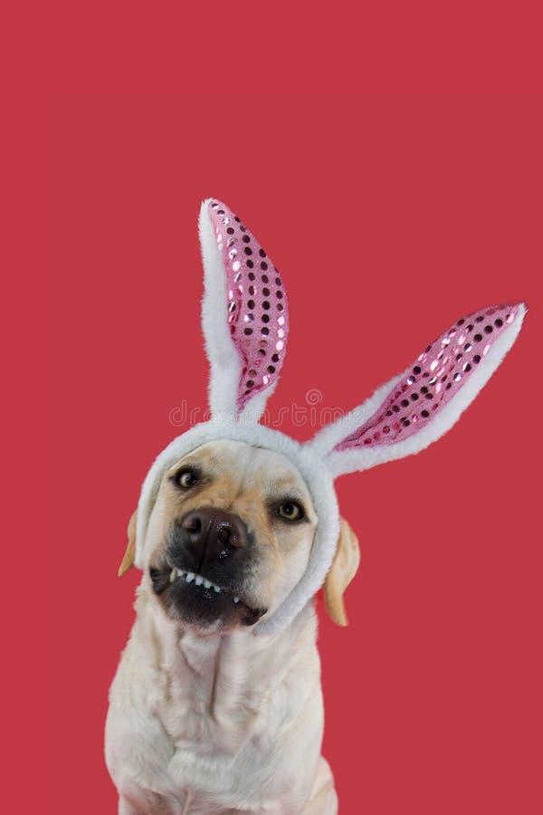Lustiger Ostern-Hund LABRADOR, DAS EIN HÄSCHEN-OHR-DIADEM TRÄGT LOKALISIERTER SCHUSS AUF KORALLENROTEM FARBIGEM HINTERGRUND stockbilder