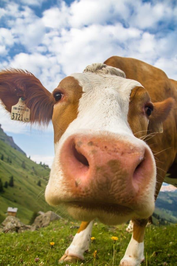 Lustiger Porträtabschluß des niedrigen Winkels oben einer neugierigen roten und weißen Kuh stockbild