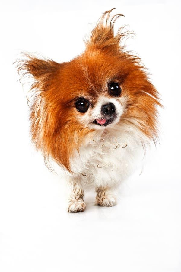 Lustiger schauender Hund mit tounge heraus stockfotografie