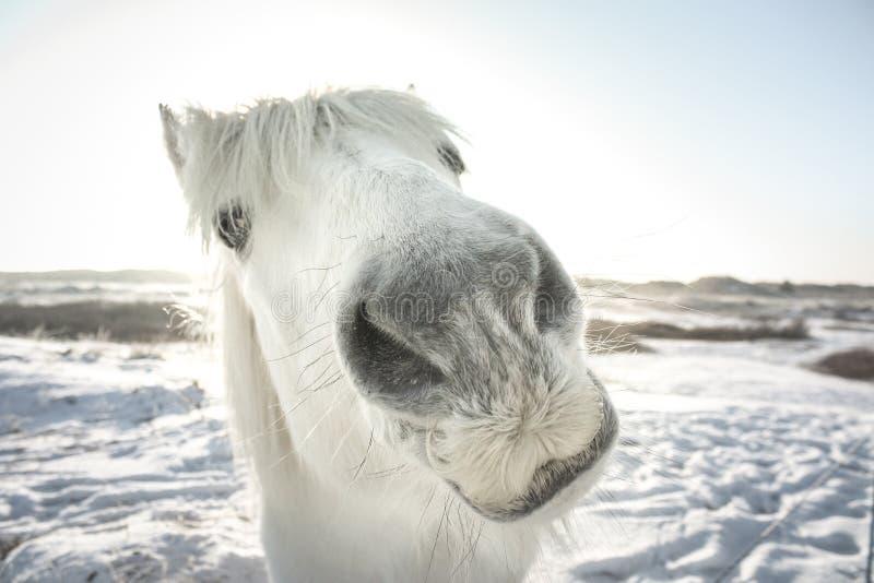 Lustiger schauender Schimmel im Schnee lizenzfreies stockfoto