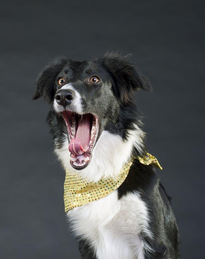Lustiger schreiender Hund lizenzfreies stockbild
