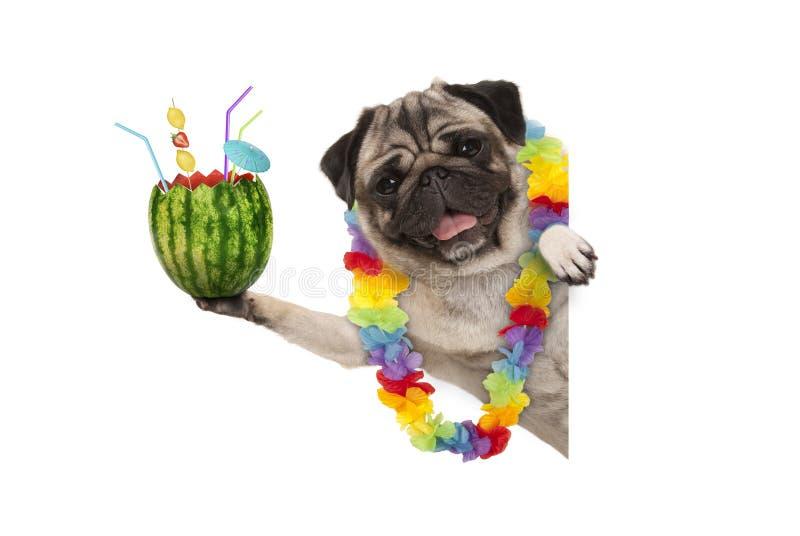 Lustiger Sommer Pughund mit hawaiischer Blumengirlande, Wassermelonencocktail mit Regenschirm und Strohen halten stockbilder