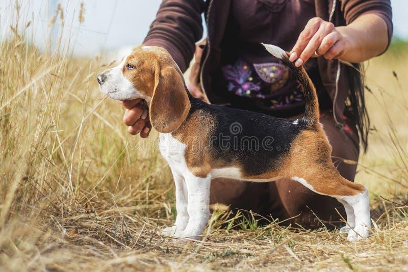 Lustiger Spürhundwelpen-Herbstweg lizenzfreies stockfoto