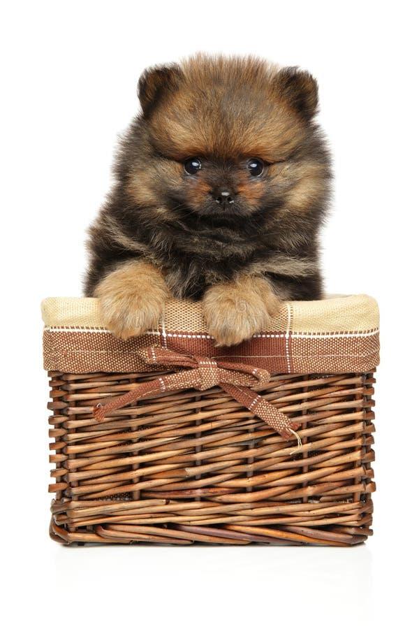 Lustiger Spitzhundewelpe sitzt im Weidenkorb stockfoto