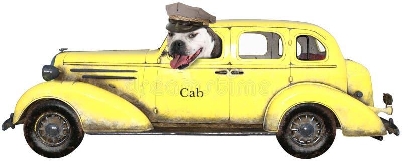 Lustiger Taxi-Hund, lokalisiert, Bulldogge stockbild