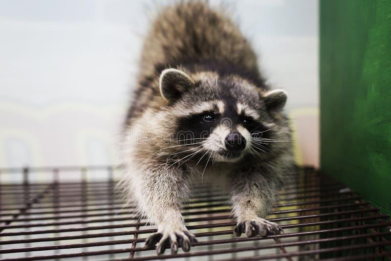 Lustiger und Pelzwaschbär sitzt auf einem Käfig und dehnt aus lizenzfreies stockbild