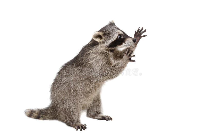 Lustiger Waschbär, der auf seinen Hinterbeinen steht lizenzfreie stockfotografie