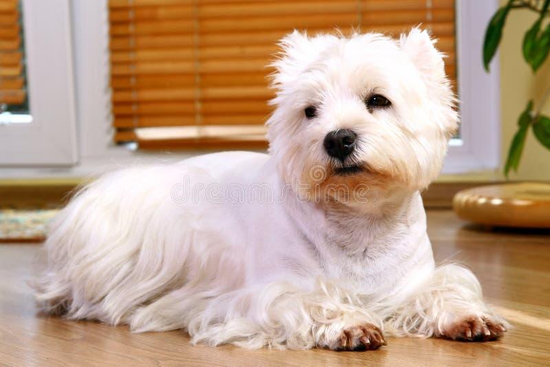 Lustiger weißer Hund zu Hause stockfotografie