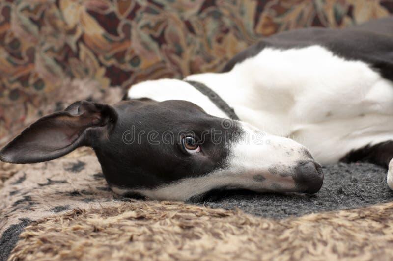 Lustiger Welpe von greyhond stockfoto